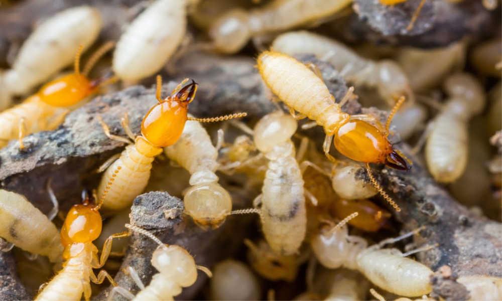 Termite Singapore