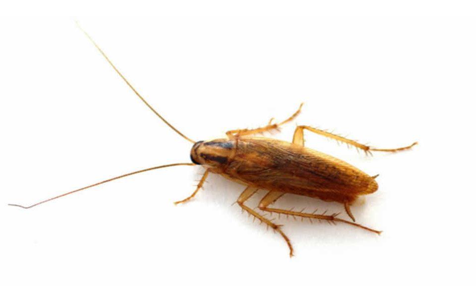 Germany cockroach infestation