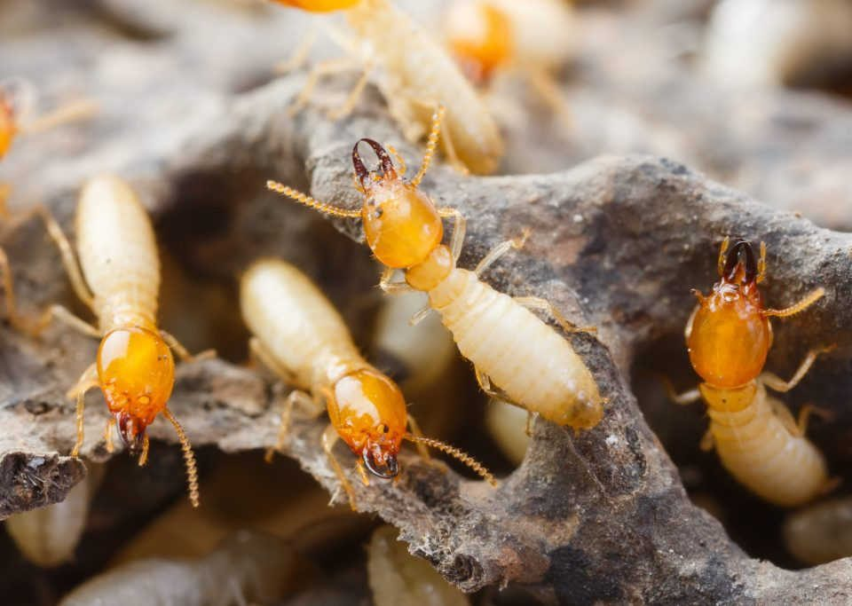 Termite control for your home