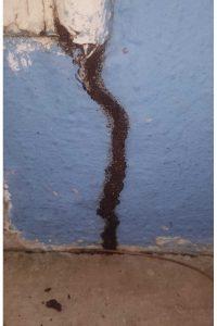 Subterranean termite trails
