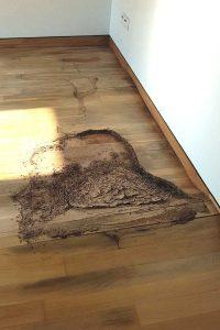 Termite infesting on wooden flooring